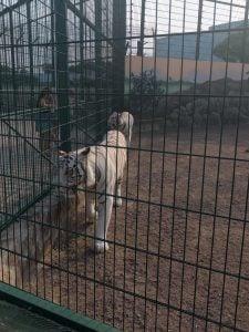 White Tiger in Biopark Zoo, Odessa